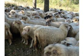 Rozsod - skludzani owiec na Stecówce u Henryka Kukuczki