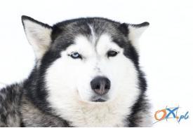 Zawody psich zaprzęgów  na Kubalonce