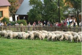 \'\'Rozchód owiec\'\' w Istebnej