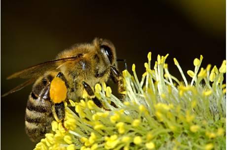 pszczoła/ fot. pixabay.com