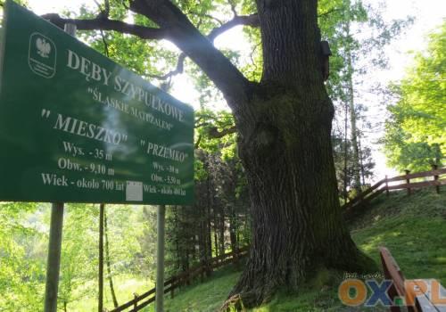 Dąb Mieszko z Kończyc Wielkich nominowany do Drzewa Roku 2018. Fot: (indi)