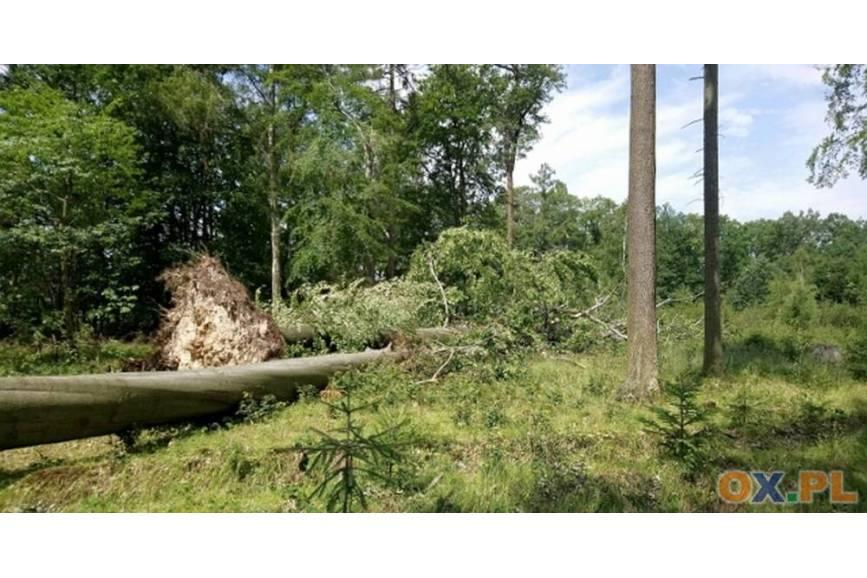 Beskidzkie lasy od lat zmagają się ze zmianami klimatycznymi fot. ARC OX.PL